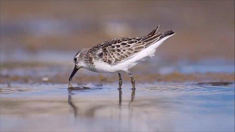 bird feeding in water Curlew Sandpiper