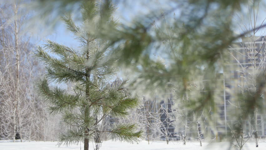 Young Spruce and Birch trees in Frost  | Shutterstock HD Video #20292532