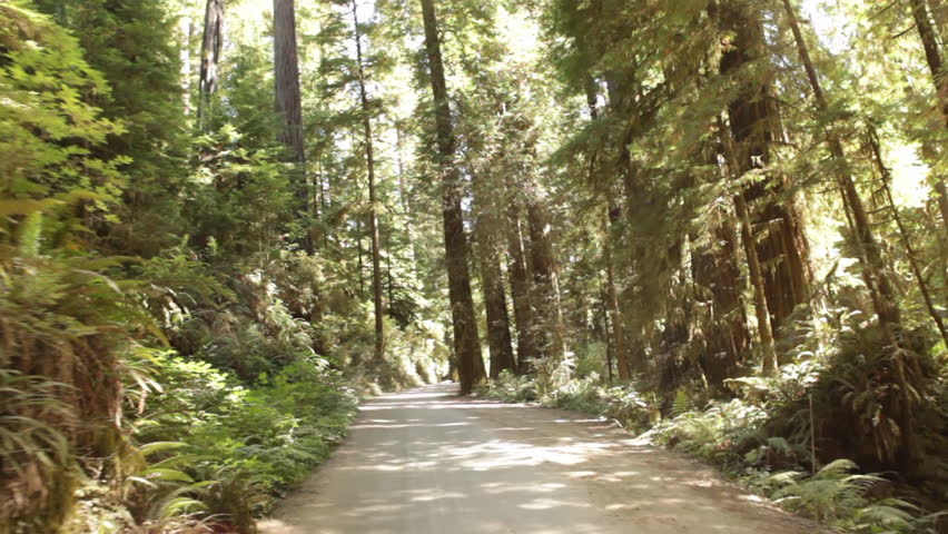 Dirt road through pine forest