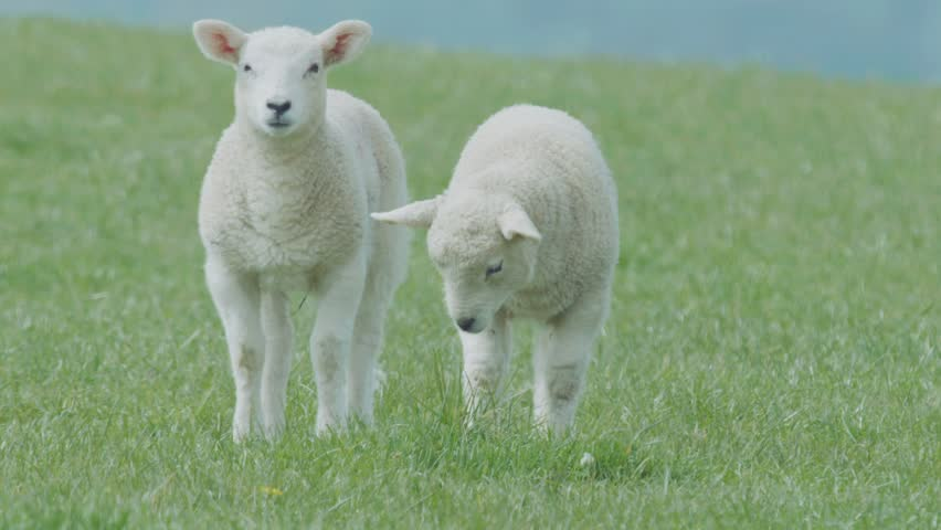 A group of sheep and lambs get grazed on fresh green meadow or field.