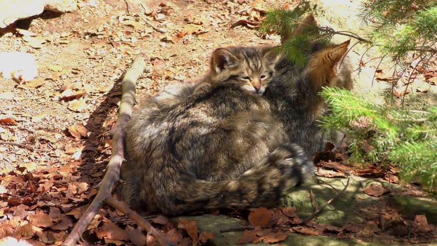 Wildcat (Felis silvestris) kitten in the Bayerischer Wald National Park in Bavaria, Germany. The wildcat is a small cat found throughout most of Africa, Europe and Asia