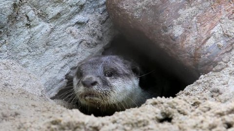 Otters are animals in the phylum chordate. Floor mammalian milk The large carnivores in the family Mustelidae.