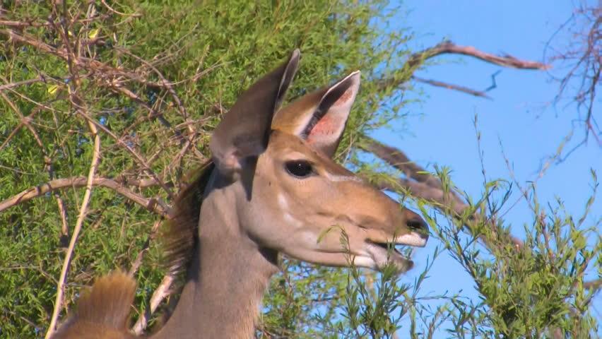 Detailed portrait of eating greater kudu antelope in african bush, Okavango region, Botswana, Africa
