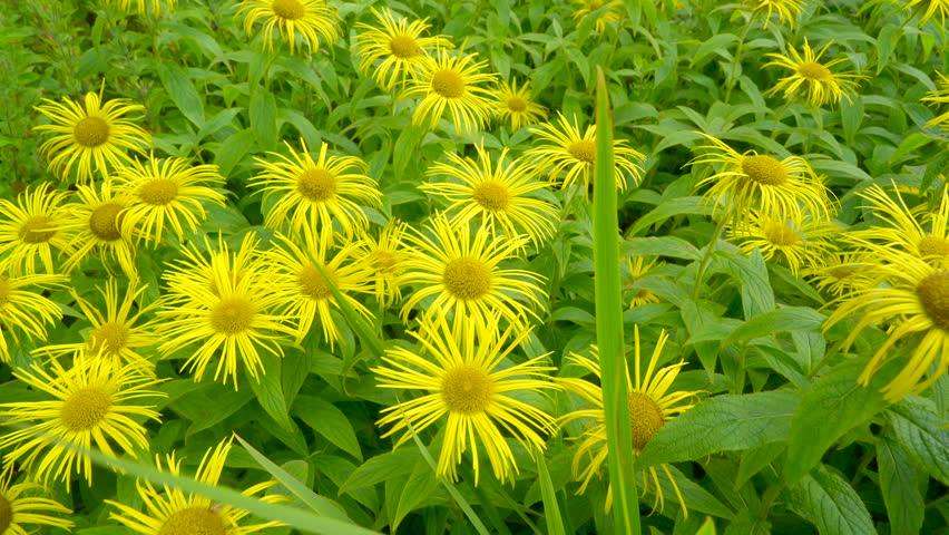 A field of yellow sunflower like garden lots of yellow flowers in a field of yellow sunflower like garden lots of yellow flowers in the garden waving on mightylinksfo Images