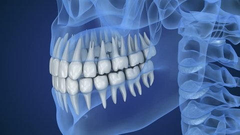Transparent scull and teeth , xray view . 3D animation