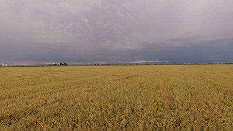 Drone flyover of wheat field in Colorado summer
