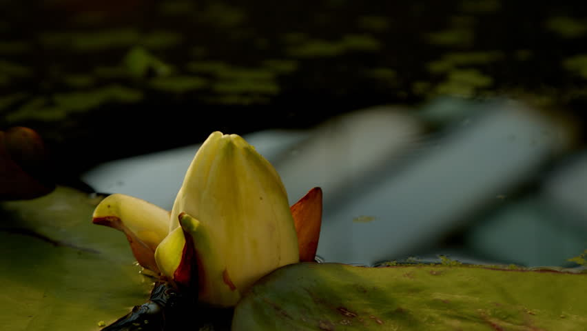 Time lapse opening of water lily flower  #2062646