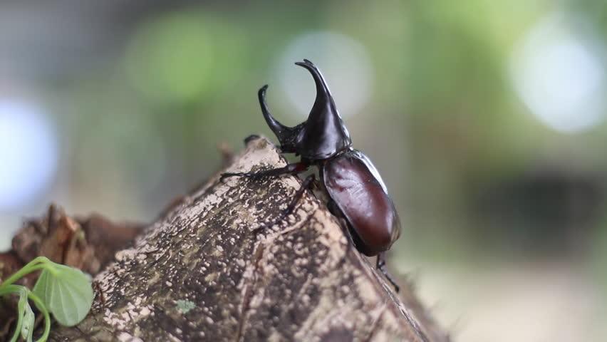 Rhinoceros beetle, Rhino beetle,Fighting beetle ,pet-beetles
