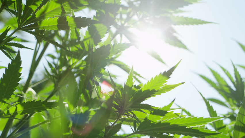 SLOW MOTION, CLOSE UP, DOF, LOW ANGLE: Green hemp plants with stalk, steam, leaves and flowers sunbathing and swinging in soft summer breeze. Sativa growing on sunshine, forming big buds flowering