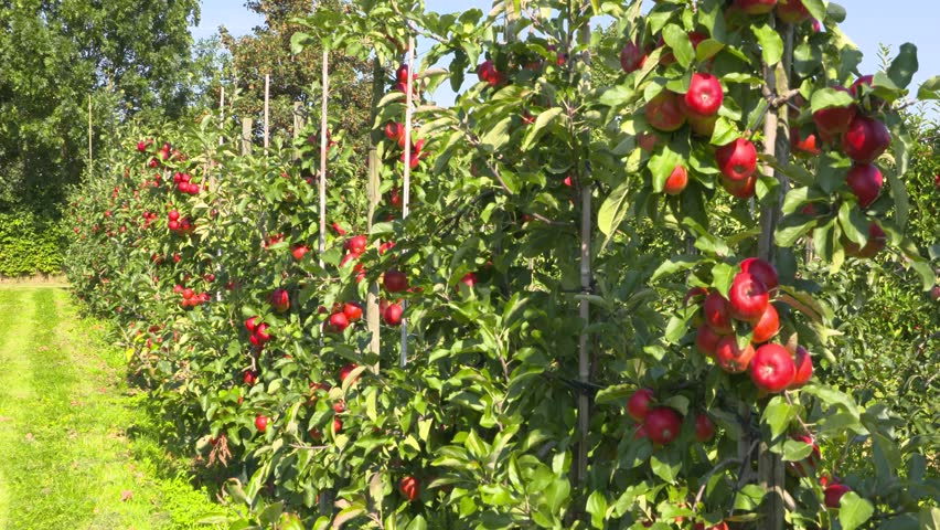 Apple orchard on dwarfing rootstocks. Santana apples are bred specifically for reduced levels of proteins