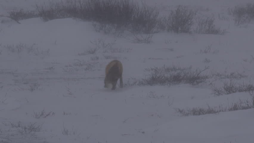 Red fox trots through blizzard hunting voles on tundra | Shutterstock HD Video #20677192