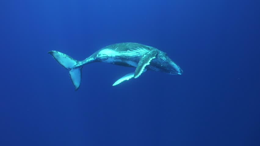 Humpback whales calf approaches the camera and plays