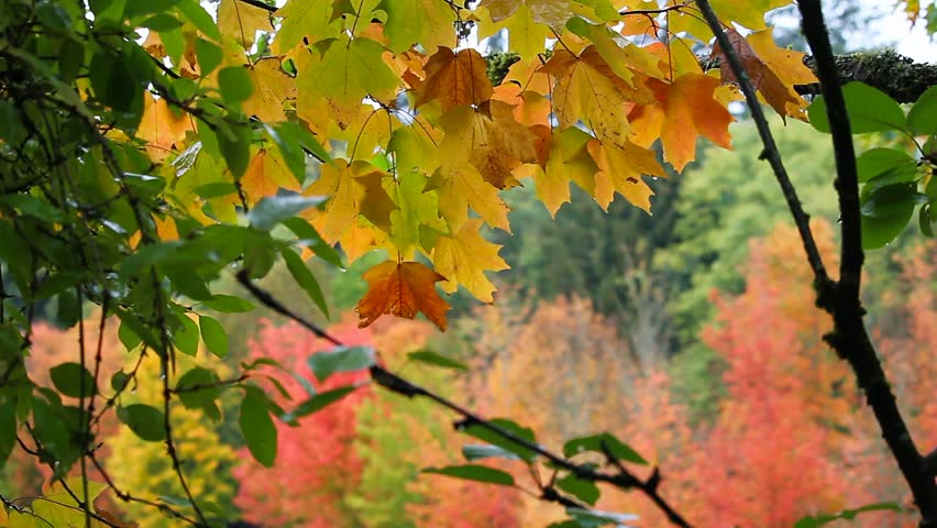 Stock Video Clip Of Looping Natural Autumn Season Tree Foliage Out |  Shutterstock