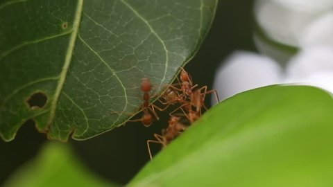 Ants teamwork, Red ant made bridge for a friend jump.