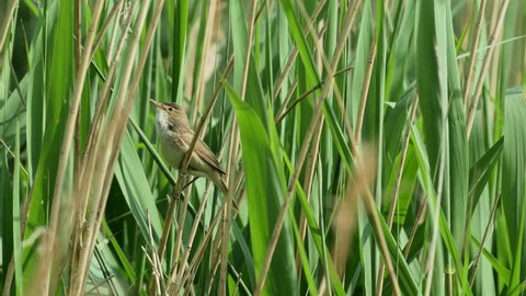 Reed Warbler bird (Acrocephalus scirpaceus) singing from a reedbed