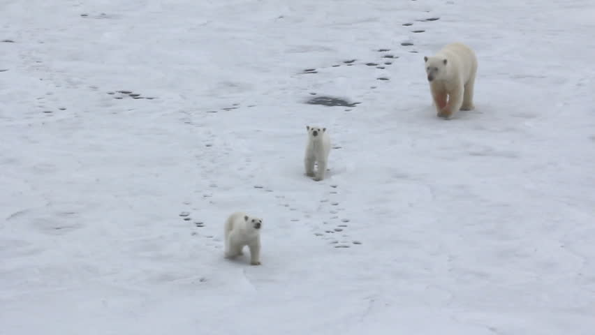 Polar bear at North pole (86 degrees). Family of bears (two cubs) is close to icebreaker because never saw people and machinery. Kids go to contact, mother backs away
