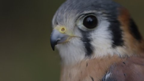 [Kestrel close up in the forest - natural bird]Kestrel close up in the forest - natural bird