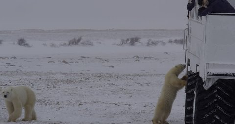 Polar bear cub stands against buggy as photographers take pictures
