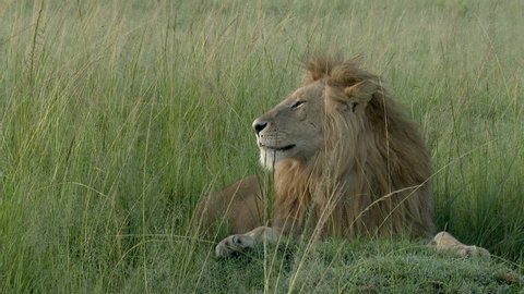 African Lion (Panthera leo) male relaxing on the plains, lying in high grass, Lock shot close-up.