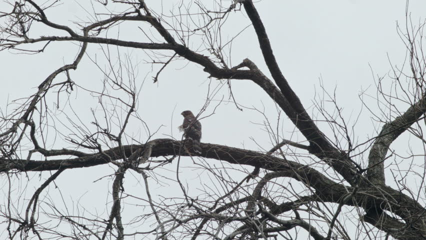 This is a shot of a Juvenile Cooper's Hawks in a tree. Shot on a Black Magic Cinema Camera