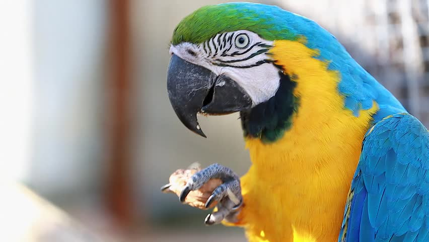 White macaw parrots