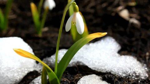Spring flower Galanthus snowdrop in snow 1920?1080 definition high