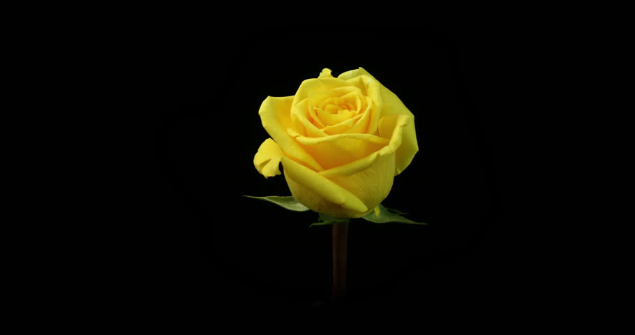 Stock video of timelapse of yellow rose flower blooming 3839093 4k0010yellow rose blooming shot in a studio with a black background mightylinksfo