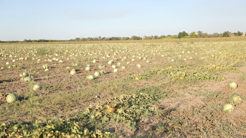 Ripe watermelons in the field on a sunny day | Shutterstock HD Video #21294382