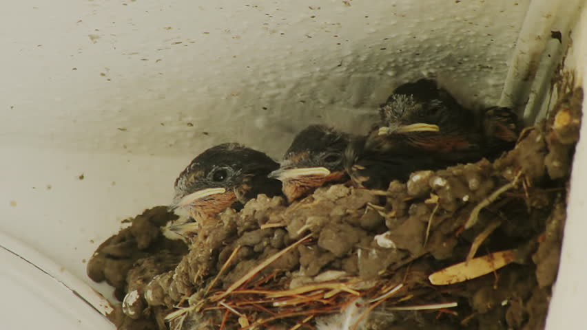 Swallow Chicks Feeding on Nest (HD). Four Swallow chicks on nest being fed by their parents.
