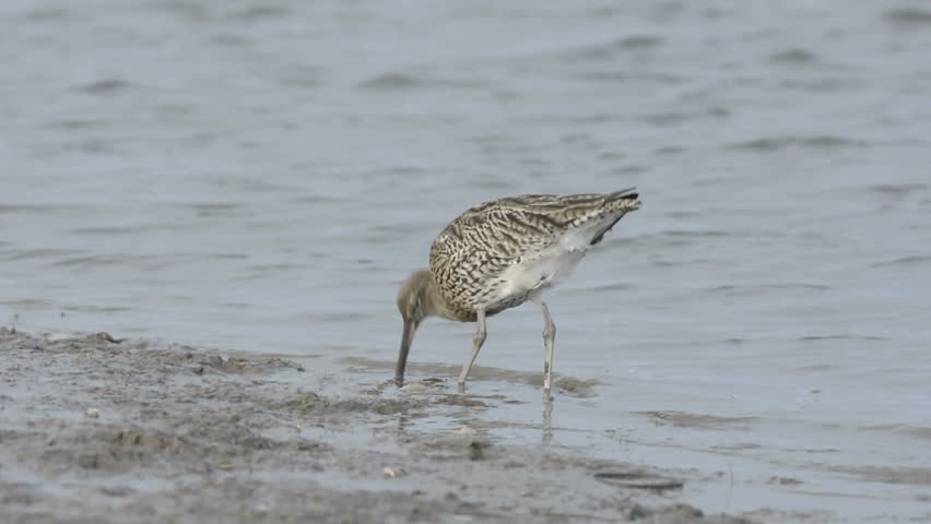 Eurasian Curlew, Numenius arquata, feeding in tidal channel, Norfolk, England, October