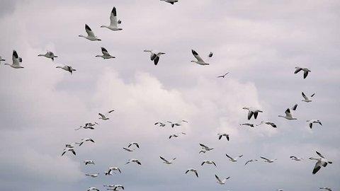 Flock of White Wild Goose Flock of White Wild Goose flying in the sky