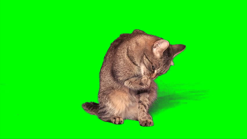 Grey stripy cat washes itself on green screen