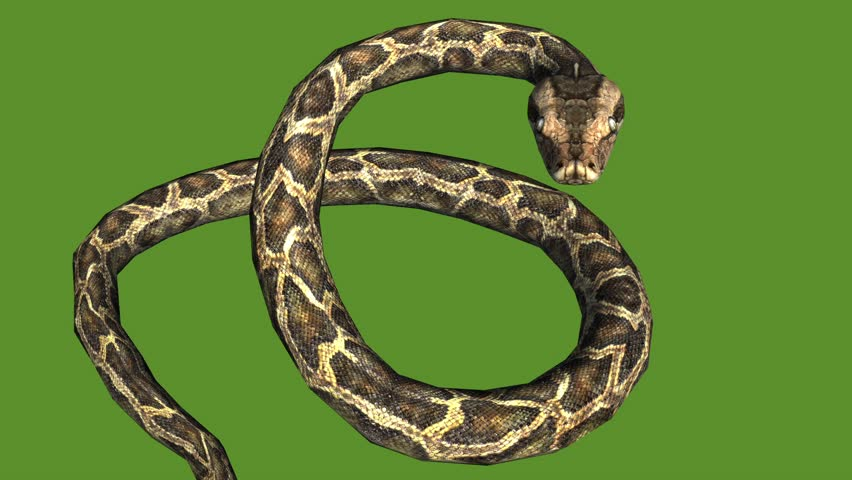 Snake & jungle carpet python open mouth attack,sliding decorative non venomous,wild animal herpetology background. cg_01979