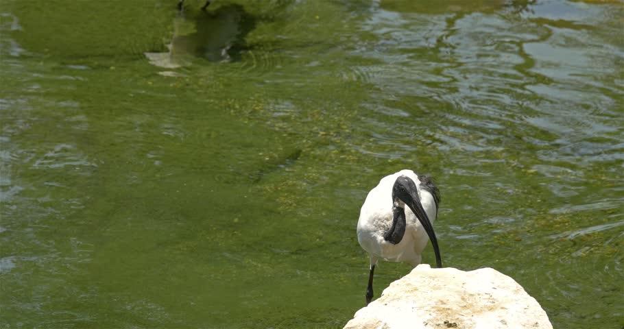 Header of African sacred ibis