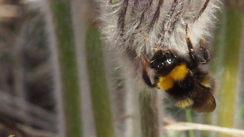 Bumblebee polinating Greater pasque flower, Devinska Kobyla reserve, Slovakia