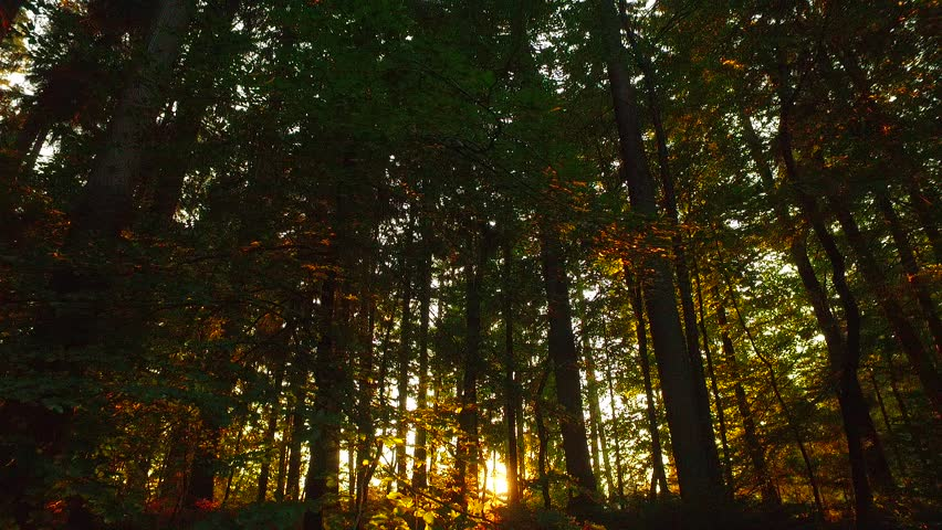 Last sun rays in deep spruce forest. Not so early autumn time in the afternoon. orange sun rays in deep forest. | Shutterstock HD Video #21563452