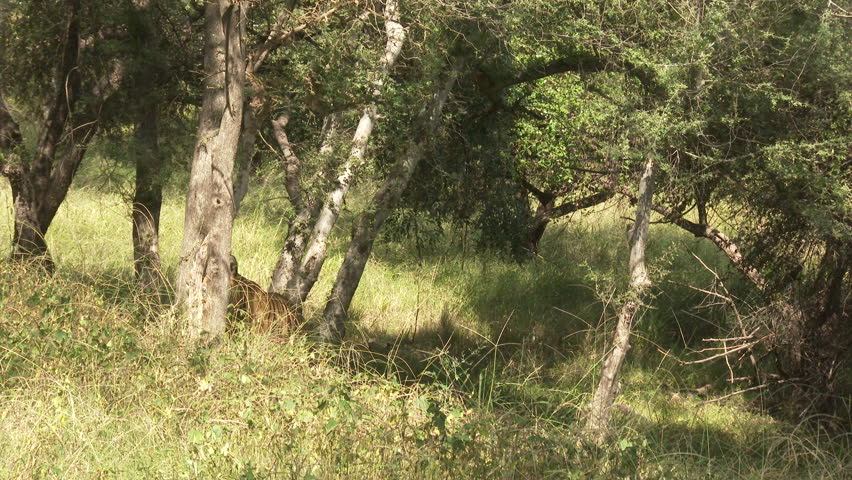 Bengal Tiger (Panthera tigirs tigris) searching for prey in dry forest, low angle tracking shot