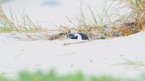 African Penguin and Chick looking out of their burrow in the sand.