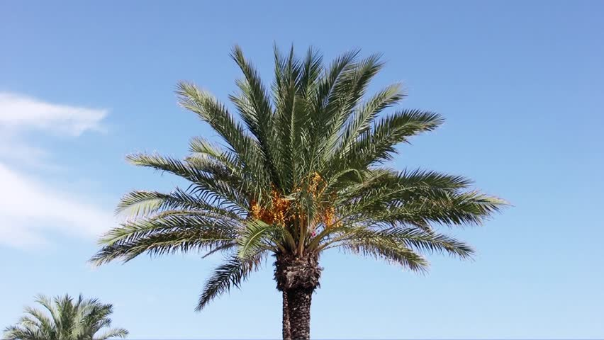 Date palm moving with the wind
