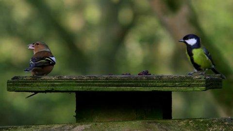 Chaffinch Great Tit On Bird Feeder; Forge Valley Scarborough