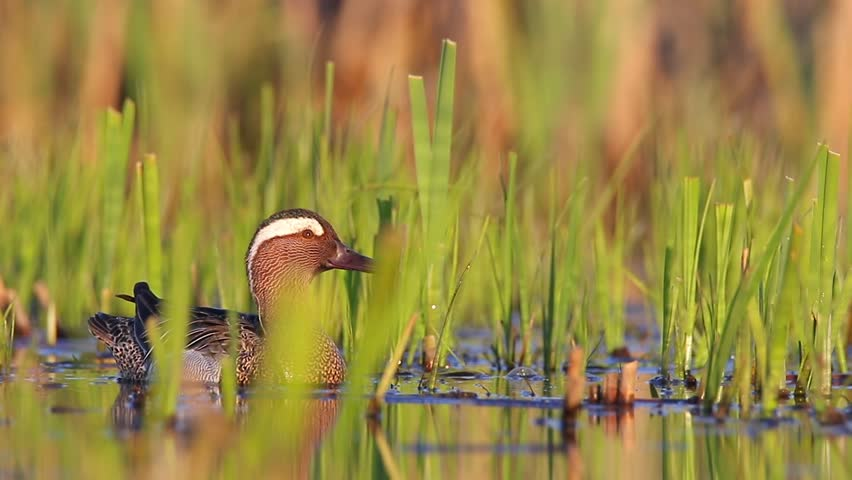 Header of garganey