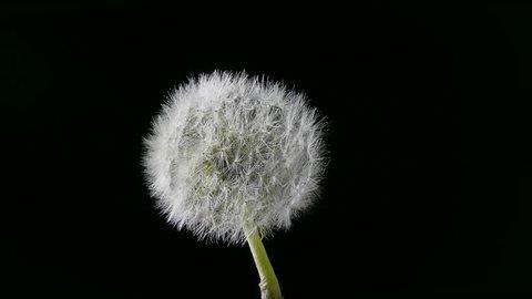 Dandelion blowing / Dandelion in the wind / Dandelion head. Seeds of dandelion resisting gusts of air flow. (av33473c)