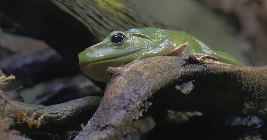 Green Shiny Frog Sitting Motionless on the Roots of the Tree.  Frog is Croaking Sitting on a Branch.  | Shutterstock HD Video #21714232