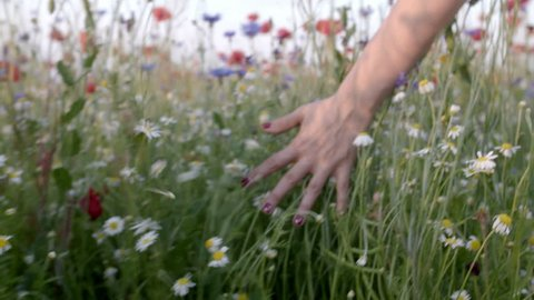 Woman's hand running through poppies field in Slow motion shot. Girl's hand touching red poppy flowers closeup. Love nature concept.