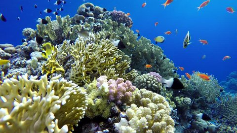 Coral reef, tropical fish. Warm ocean and clear water. Underwater world. Diving and Snorkelling. Coral reef and beautiful fish. Underwater life in the ocean. Tropical fish on coral reefs.