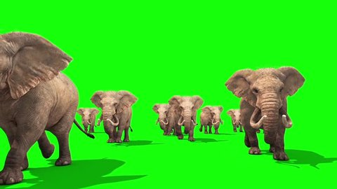 Herd of Elephants Walking Front Green Screen