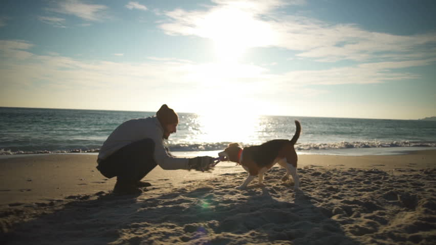 A playful beagle biting and pulling a toy from young man's hand on the beach