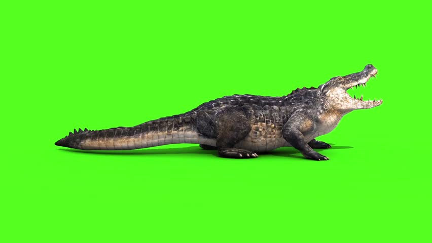 Alligator Crocodile Reptile Attacks Side Loop Green Screen