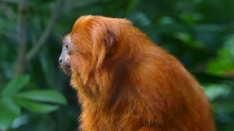 Golden lion tamarin also known as the golden marmoset, is a small New World monkey of the family Callitrichidae.