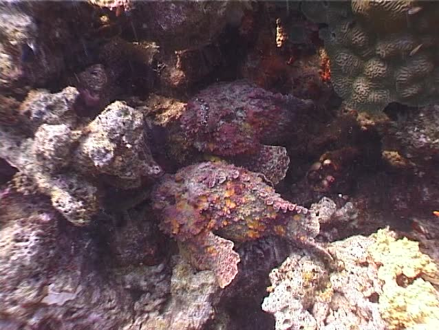 Reef stonefish (Synanceia verrucosa) courting underwater in Australia